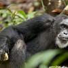 Imagem 2 do filme Chimpanzé